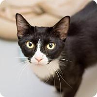 Domestic Shorthair Cat for adoption in Fountain Hills, Arizona - Blitz