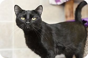 Domestic Shorthair Cat for adoption in Whitehall, Pennsylvania - Weedle