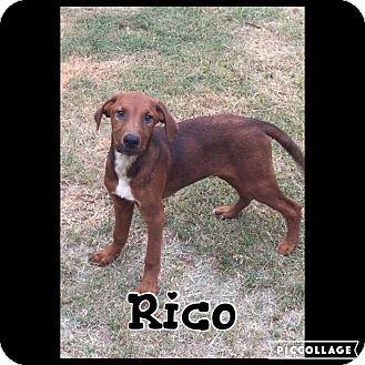 Hound (Unknown Type)/Labrador Retriever Mix Puppy for adoption in Shaw AFB, South Carolina - Rico