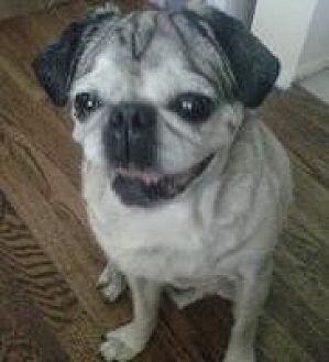 Pug Dog for adoption in Gardena, California - Kriss Kringle