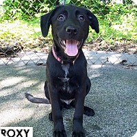 Adopt A Pet :: Roxy - Danbury, CT