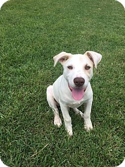 Pit Bull Terrier/Labrador Retriever Mix Dog for adoption in San Antonio, Texas - 398236                Scout