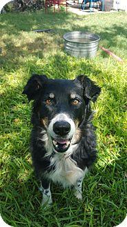Border Collie Dog for adoption in Schertz, Texas - Oreo PB