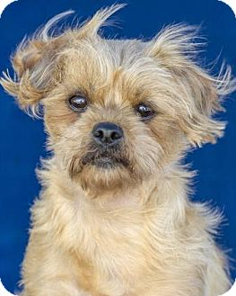 Shih Tzu/Yorkie, Yorkshire Terrier Mix Dog for adoption in Colorado Springs, Colorado - Fidget