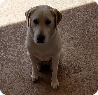 Labrador Retriever/Hound (Unknown Type) Mix Dog for adoption in BROOKSVILLE, Florida - SOPHIE