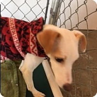 Fox Terrier (Smooth)/Terrier (Unknown Type, Small) Mix Dog for adoption in Traverse City, Michigan - Kirky