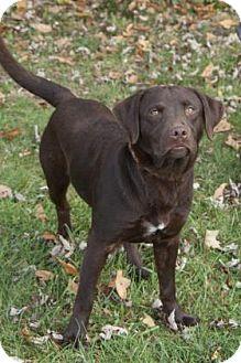 Retriever (Unknown Type)/Labrador Retriever Mix Dog for adoption in Bedford, Indiana - Max