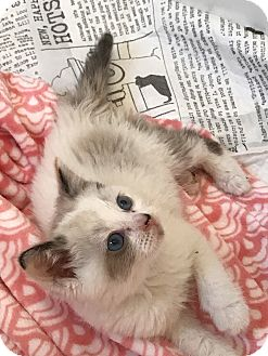 Snowshoe Kitten for adoption in Los Angeles, California - Owlet
