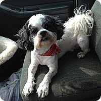 Shih Tzu/Poodle (Miniature) Mix Dog for adoption in Acworth, Georgia - Dooley