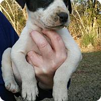 Adopt A Pet :: Blaise - pending - Manchester, NH