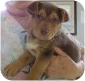 Chihuahua/German Shepherd Dog Mix Puppy for adoption in Portland, Maine - Jazzy