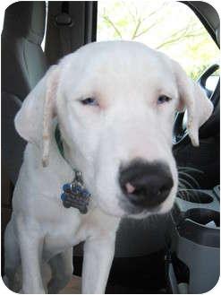 Australian Shepherd Mix Dog for adoption in Mesa, Arizona - Zinnia