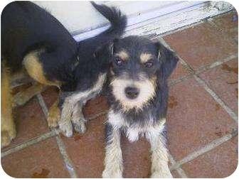 Schnauzer (Standard)/Dachshund Mix Dog for adoption in Los Angeles, California - Jordan & Tanner