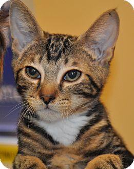 Melon | Adopted Kitten | Atlanta, GA | Domestic Shorthair Selkirk Rex Atlanta