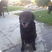 Labrador Retriever Mix Dog for adoption in San Diego, California - Kelly (Senior)