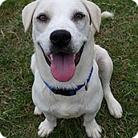 Adopt A Pet :: Stitch - Baton Rouge, LA