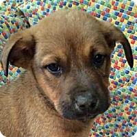 Hound (Unknown Type)/Shepherd (Unknown Type) Mix Puppy for adoption in Tyler, Texas - BT-Puppy #5