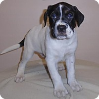 Adopt A Pet :: Victor - Gary, IN