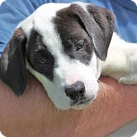 Adopt A Pet :: *Bailey - PENDING - Westport, CT