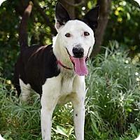 Adopt A Pet :: Gus McCrae - Georgetow, TX