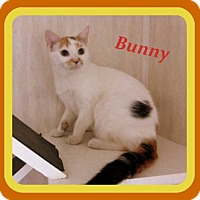Domestic Shorthair Kitten for adoption in Berkeley Springs, West Virginia - Bunny