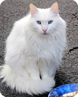 Domestic Longhair Cat for adoption in Central Islip, New York - Puffin