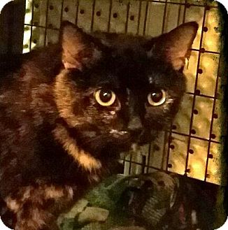 Domestic Shorthair Cat for adoption in Lexington, Kentucky - Amara