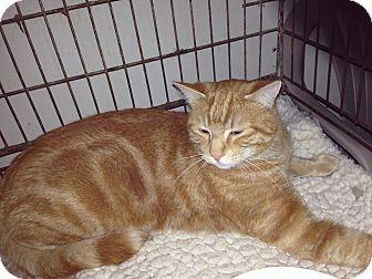 Domestic Shorthair Cat for adoption in Alamo, California - Mango