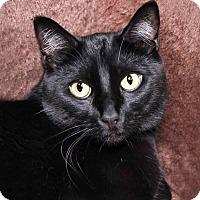 Adopt A Pet :: Crookshanks - Encinitas, CA
