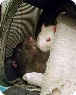 Rat for adoption in Imperial Beach, California - William (living with Jackson)