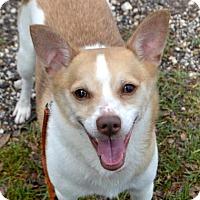 Adopt A Pet :: Little Levon - Austin, TX