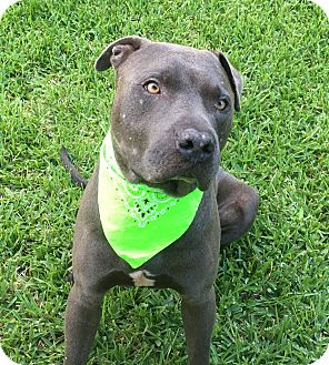 Pit Bull Terrier/American Staffordshire Terrier Mix Dog for adoption in Portland, Oregon - Bear **Courtesy Post**