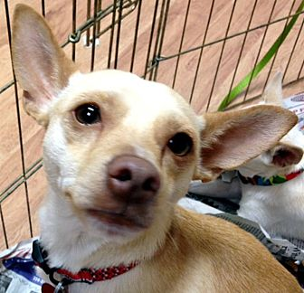 Chihuahua Mix Dog for adoption in Tijeras, New Mexico - Samson