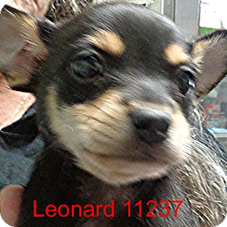Chihuahua Mix Puppy for adoption in baltimore, Maryland - Leonard