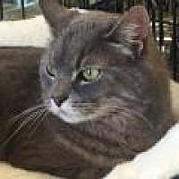 Domestic Shorthair Cat for adoption in Stafford, Virginia - Jinx