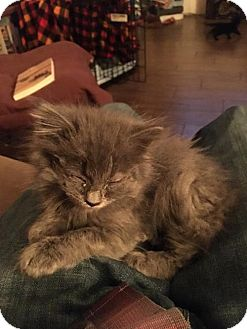 Norwegian Forest Cat Kitten for adoption in Denver, Colorado - Otis