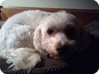 Maltese/Poodle (Miniature) Mix Dog for adoption in O'Fallon, Missouri - Molly