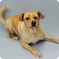 Adopt A Pet :: Doodle - Gatineau, QC