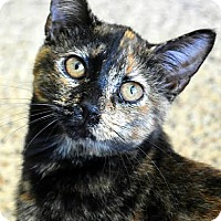 Domestic Shorthair Cat for adoption in Aiken, South Carolina - Stacie