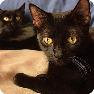 Domestic Shorthair Cat for adoption in New York, New York - Foxy and Coffy