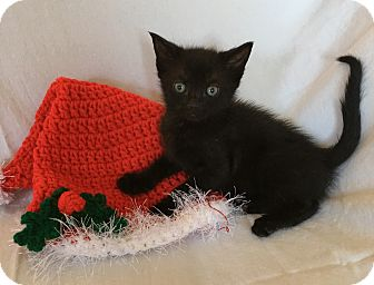 Domestic Shorthair Kitten for adoption in Wayne, New Jersey - Cruz