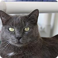 Domestic Shorthair Cat for adoption in Sarasota, Florida - Oscar