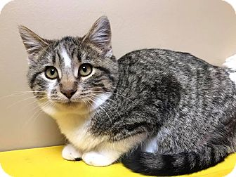 Domestic Shorthair Cat for adoption in Maryville, Missouri - Dic