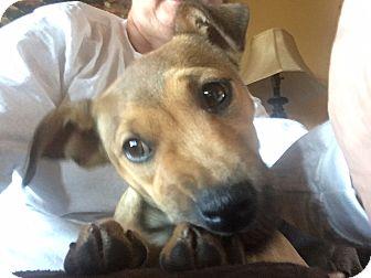 Collie/Beagle Mix Puppy for adoption in Washington, D.C. - Tessa