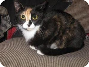 Calico Cat for adoption in Raritan, New Jersey - Luci
