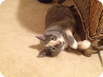 American Shorthair Cat for adoption in Waxhaw, North Carolina - Dolly