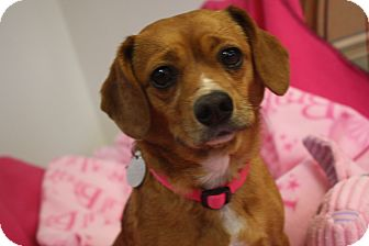 Pug/Beagle Mix Dog for adoption in Homewood, Alabama - Abbie