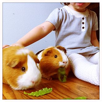Guinea Pig for adoption in Fullerton, California - Thorn and Harley