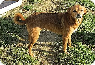 Spitz (Unknown Type, Small) Mix Dog for adoption in Harrodsburg, Kentucky - Branley