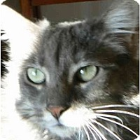 Russian Blue Cat for adoption in Thatcher, Arizona - Millie